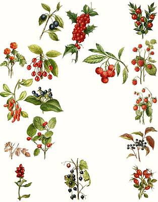 Cherry Drawing - Berries by English School