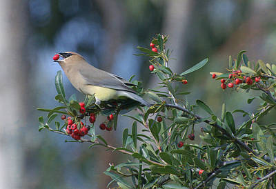 Cedar Waxwing Photograph - Berry Good by Fraida Gutovich