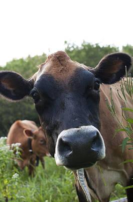 Jersey Cow Photograph - Bertha by Indigo Schneider