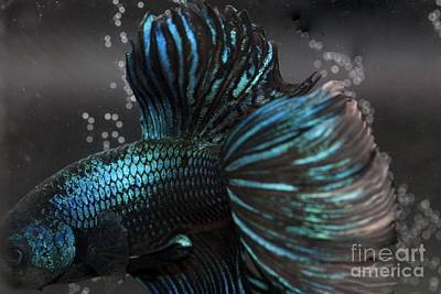Betta Fish Close Up Print by Jennifer Gaida
