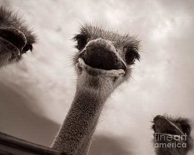 Ostrich Photograph - Beware The Feeding by Royce Howland