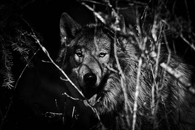 Black. Timber Wolf Photograph - Beware The Woods D2076 by Wes and Dotty Weber