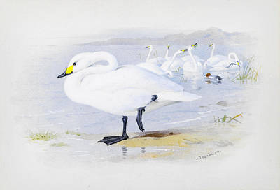 Bewicks Swan Print by Celestial Images