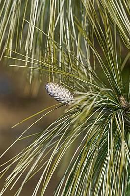 Bhutan Pine (pinus Wallichiana) Print by Dr. Nick Kurzenko