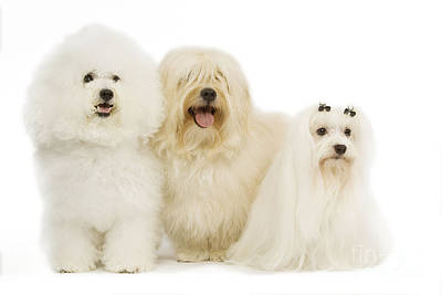 Maltese Dog Photograph - Bichon Frise, Havanese And Maltese by Jean-Michel Labat