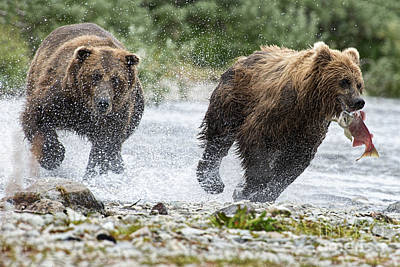 Big Bully On Funnel Creek Katmai National Park Print by Dan Friend