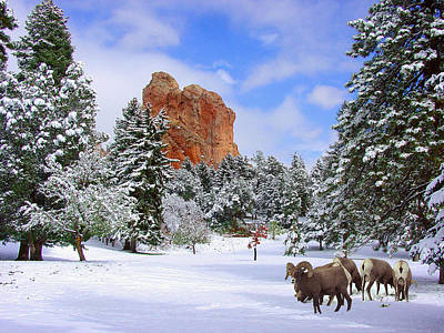 Big Horn Sheep Photograph - Big Horn Sheep At Glen Eyrie by John Hoffman