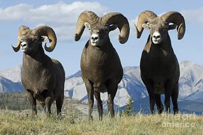 Big Horn Sheep Print by Bob Christopher