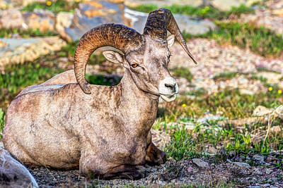Big Horn Sheep Photograph - Big Horn Sheep Portrait by Derek Haller