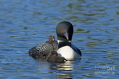 Loon Photograph - Big Yawn by Jim Block