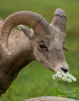 Big Horn Sheep Photograph - Bighorn Sheep Headshot In Glacier by Natural Focal Point Photography