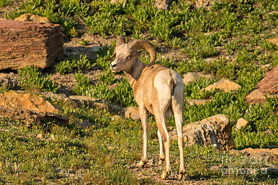 Bighorn Sheep Ram In Glacier Print by Natural Focal Point Photography