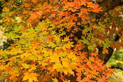 Bigtooth Maple In Colors Print by Ellie Teramoto