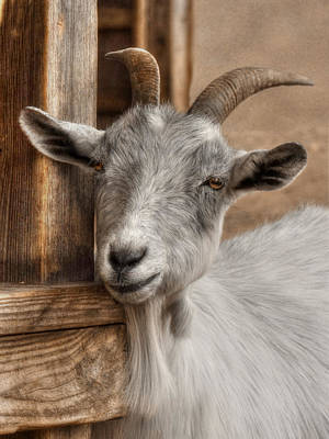 Goat Photograph - Billy Goat by Lori Deiter