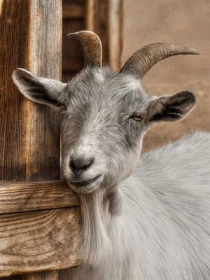 Billy Goat Print by Lori Deiter