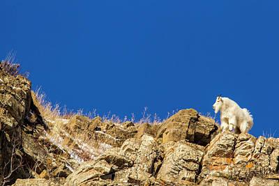 Mountain Goat Photograph - Billy Mountain Goat (oreamnos Americanus by Chuck Haney