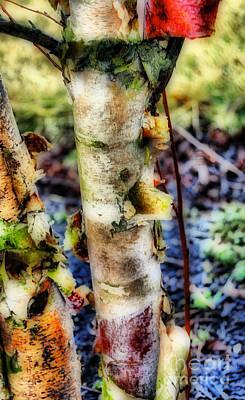 Birch Bark Photograph - Birch Bark by Skip Willits