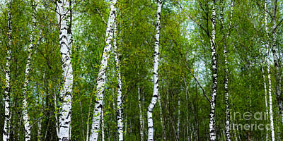 Birch Forest Print by Hannes Cmarits
