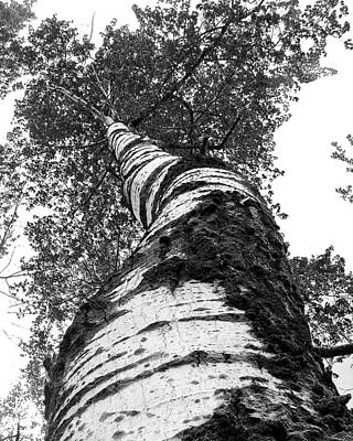 Birch Tree Print by Tim Buisman