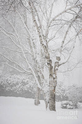 Birch Trees In Winter Print by Elena Elisseeva