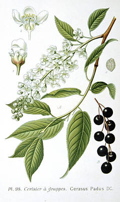 Cherry Drawing - Bird Cherry Cerasus Padus Or Prunus Padus by Anonymous