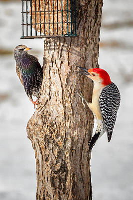Woodpecker Photograph - Bird Feeder Stand Off by Bill Wakeley
