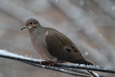 Bird In Snow - Animal - 011310 Print by DC Photographer