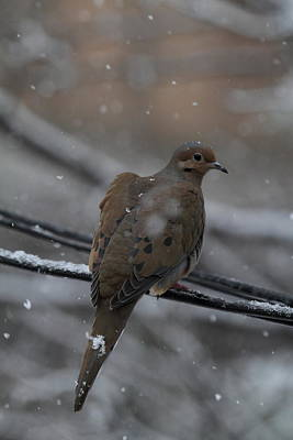Bird In Snow - Animal - 01132 Print by DC Photographer