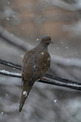 Bird In Snow - Animal - 01134 Print by DC Photographer
