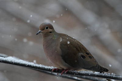 Bird In Snow - Animal - 01138 Print by DC Photographer