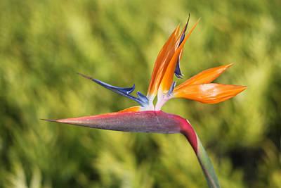 Jim Nelson Photograph - Bird Of Paradise by Jim Nelson