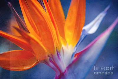 Bird Of Paradise - Strelitzia Reginae - Crane Flower Maui Hawaii Print by Sharon Mau