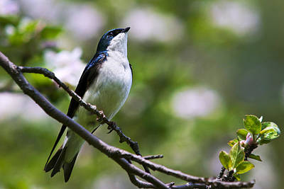 Tree Swallow Photograph - Swallow Song by Christina Rollo