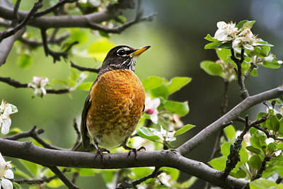 Birds - American Robin - Nature's Alarm Clock Print by Christina Rollo