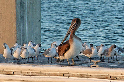 Pelican Photograph - Birds - Among Friends by HH Photography of Florida