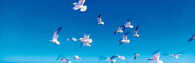 Flying Seagull Photograph - Birds In Flight Flagler Beach Fl Usa by Panoramic Images