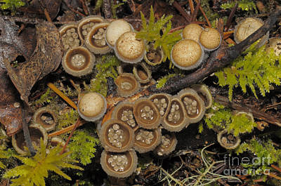 Agaricales Photograph - Birds Nest Fungus by Robert and Jean Pollock