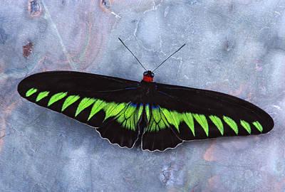 Birdwing Butterfly Trogonoptera  Print by Robert Jensen