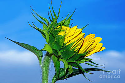 Birth Of A Sunflower By Kaye Menner Print by Kaye Menner