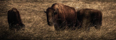 Painted Image Painting - Bison  Bison Bison Athabascae  Grazing by Ron Harris