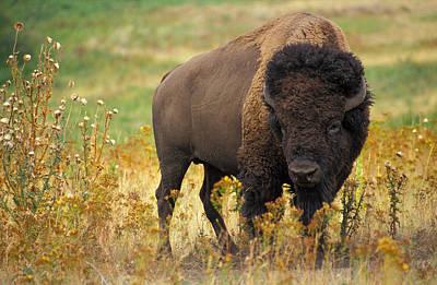 Bison Digital Art - Bison Buffalo by National Parks Service