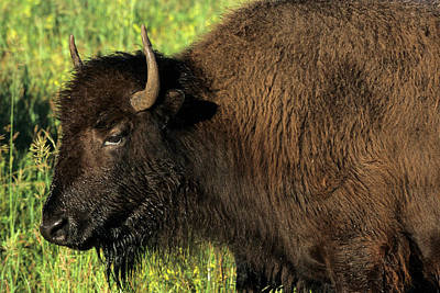 Bison Photograph - Bison, Custer State Park, South Dakota by Richard and Susan Day