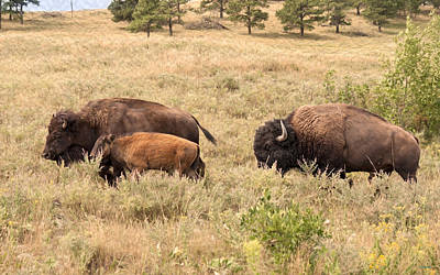 Animal Photograph - Bison Family by John M Bailey