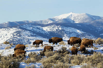 Bison Photograph - Bison Herd, Yellowstone National Park by Ken Archer