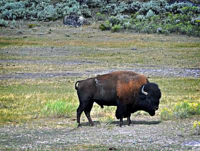 Bison In Lamar Valley Print by Marty Koch