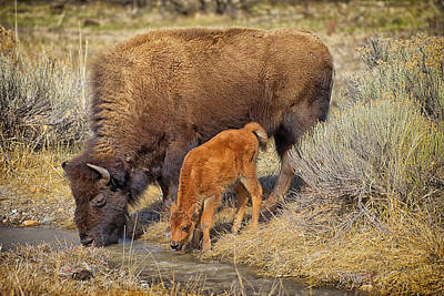 Bison Photograph - Bison Mother With Newborn by Greg Norrell