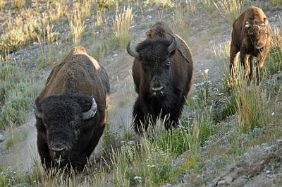 Bison Charge Photograph - Bison On The Run by Bruce Gourley