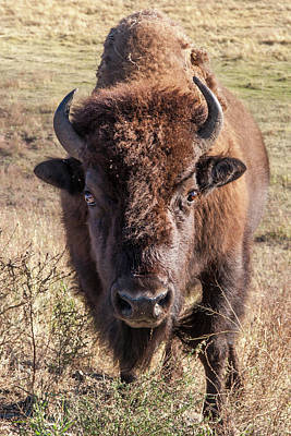 Bison Photograph - Bison Yellowstone National Park Wyoming by Tom Norring