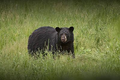 Black Adult Bear Outside Of Orr Minnesota Print by Randall Nyhof
