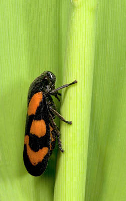 Fens Photograph - Black And Red Froghopper by Nigel Downer